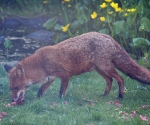 Garden Fox Watch: Vixen collecting food