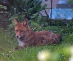 Garden Fox Watch: Adult fox keeping watch