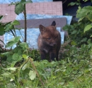 Garden Fox Watch: Cub exploring