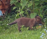 Garden Fox Watch: Cub explores while vixen watches