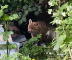Garden Fox Watch: Fox cub peeks out
