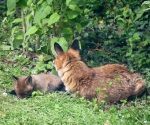 Garden Fox Watch: Mum watches over fox cub