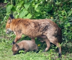 Garden Fox Watch: Vixen and fox cub