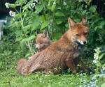Garden Fox Watch: Vixen and cub