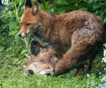 Garden Fox Watch: Not a toy