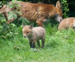 Garden Fox Watch: The wide world