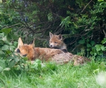 Garden Fox Watch: Muuuuummmm....