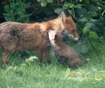 Garden Fox Watch: Cub nuzzling vixen