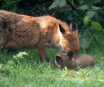 Garden Fox Watch: Grooming