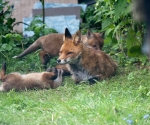 Garden Fox Watch: Look Mum!