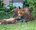 Garden Fox Watch: Vixen being pestered