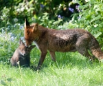 Garden Fox Watch: Spit washes are so undignified