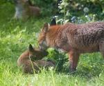 Garden Fox Watch: Grooming