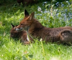 Garden Fox Watch: Relaxing together
