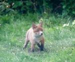 Garden Fox Watch: Cub