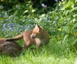 Garden Fox Watch: A world beyond Mum
