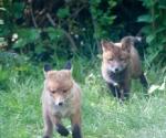 Garden Fox Watch: The chase