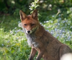 Garden Fox Watch: Fox in the flowers