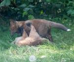 Garden Fox Watch: Rough and tumble