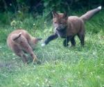 Garden Fox Watch: Handbrake turn