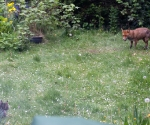 Garden Fox Watch: The fox and the cat