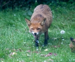 Garden Fox Watch: No, really, this liver is very tasty