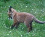 Garden Fox Watch: I said SMELL the flowers, not eat them