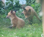Garden Fox Watch: Incoming