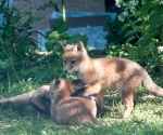 Garden Fox Watch: Tag, you're it!