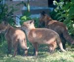 Garden Fox Watch: Forming an orderly queue