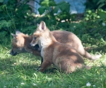 Garden Fox Watch: Rawr!