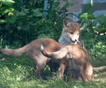 Garden Fox Watch: Bow down before me?