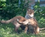 Garden Fox Watch: Bow down before me?