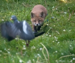 Garden Fox Watch: Damn, there goes my breakfast
