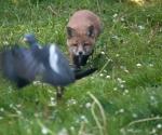 Garden Fox Watch: Damn, there goes my breakfast
