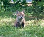 Garden Fox Watch: That was going to be such a tasty pigeon...
