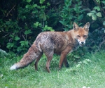 Garden Fox Watch: Stuffing the face