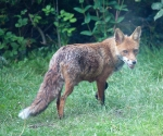 Garden Fox Watch: Taking supplies back to the den