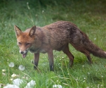 Garden Fox Watch: Mmm, tasty