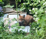 Garden Fox Watch: A day on the tiles...