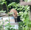 Garden Fox Watch: A day on the tiles