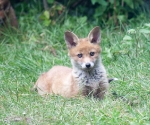 Garden Fox Watch: Posing