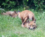 Garden Fox Watch: The vault