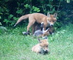 Garden Fox Watch: Playtime