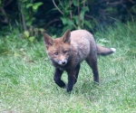 Garden Fox Watch: Trotting