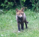 Garden Fox Watch: The darker cub