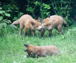 Garden Fox Watch: Discussion