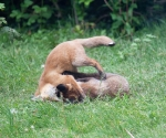 Garden Fox Watch: Tumbling
