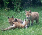 Garden Fox Watch: If you get bitten _there_, of course it'll hurt