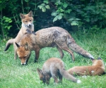 Garden Fox Watch: Propping up on Mum